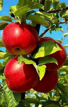 mmm the apple picked on the best tree Fruit Plants, Fruit Garden, Fruit Trees, Fruit And Veg, Fruits And Vegetables, Fresh Fruit, Apple Tree, Red Apple, Beautiful Fruits