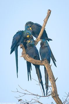 Preening session--Hyacinth Macaws (Anodorhynchus hyacinthinus) by Octavio Campos Salles on 500px
