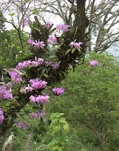 Orchids on a tree Cattleya (Latin: Cattleya) - a family of Orchids | Country Masters