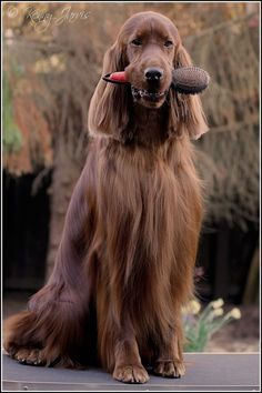 Irish Setter. Ken Jarvis  Service has gone down hill at this setter spa, you even have to brush yourself now!!