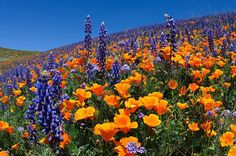 Fields and hills covered in California poppies, purple lupine, and a variety of wildflowers...Tejon Ranch in Kern County, southern California.