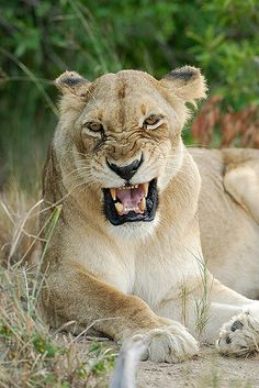 lioness roaring front view - Google Search