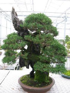 ~ Cool Bonsai Tree ~