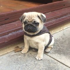 A list of the Cutest Teacup Pug pictures and videos. Are you in the mood to see some adorable photos? This is a list of some of the cutest Pug photos and videos. The Animals, Cute Baby Animals, Funny Animals, Wild Animals, Cute Pug Puppies, Cute Dogs, Dogs And Puppies, Doggies, Pug Puppies Price