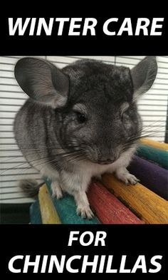 Winter Care for Chinchillas