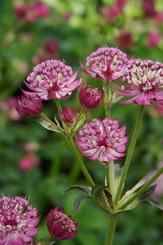 Abbey Road Masterwort - Shop Monrovia fuss-free, healthy perennials for vivid color year after year. Then select a garden center near you. Plant selection made easy. Click through for details #spon #growbeautifully
