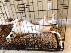 Tebow relaxing playfully in his crate on his WallyBed! #dogs #animals #cats #pets #petbeds #petproducts #pettoys