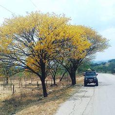 Un Hermoso cañaguate florecido en Hatonuevo #LaGuajiraMagica 21st, Country Roads, Instagram Posts, Colombia, Sweetie Belle