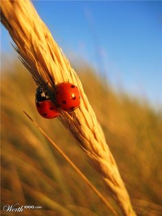 Ladybugs at Sunset