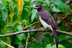 brown jay (Psilorhinus morio)