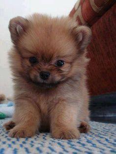 ❤  puppy pomeranian