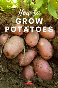 lawn and garden Learn how to grow potatoes from start to finish in your own backyard. From planting to harvest, and keeping away potato beetles, too! No need for a big backyard garden, all it takes to grow potatoes is a flower bed or container! Potato Gardening, Container Gardening Vegetables, Organic Gardening, Grow Potatoes In Container, Potato Growing Containers, Garden Container, Garden Compost, Planting Vegetables, Growing Veggies