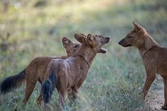 Wildlife and Wildlife Photography: Wildlife and Wildlife Photography  - Wild Dogs, Ka...