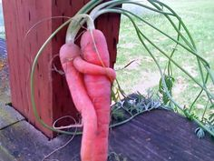 I love carrots - I had no idea they loved each other.