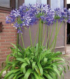 agapanthe blue giant Plus Back Gardens, Outdoor Gardens, Plantation, Horticulture, Garden Pots, Garden Inspiration, Container Gardening, Garden Landscaping, Shrubs
