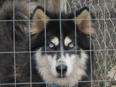 Snowfoot is an adoptable Siberian Husky Dog in Santa Rosa Beach, FL. Snowfoot is about 4-5 years old. He is a beautiful, playful boy. He is very loving. Due to his long thick coat, he requirescons...
