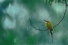 Rain.. by Atif Saeed by 500px (Bee Eater)