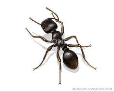 black ant illustration