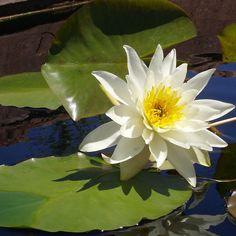 Lily I - Denver Botanic Gardens