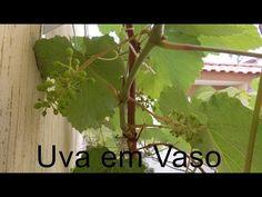 Como Plantar Uva em Vaso, Videira em Vaso Produzindo - YouTube