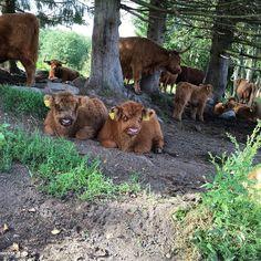Highland Cattle Cow #highlandcattle #highlandcow #cow #cows #cattle #cowsofinstagram #牛 #nature #country_features #horns #farmlife #countrylife #Farm #countryside #rural #lehmä #countrylifestyle1 #leppävirta #ylämaankarja #ig_countryside #ig_highlandcows #pocket_farms #lifeonthefarm #farmanimals #vasikka #calf #calves #cute #goodhairday