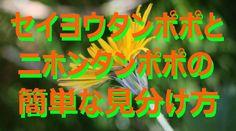 【富山散策】 春の野草 ニホンタンポポとセイヨウタンポポの簡単な見分け方