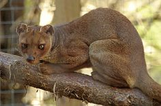 Fossas are kitty like carnivores from Madagascar. Most Beautiful Animals, Beautiful Creatures, Rare Animals, Animals And Pets, Strange Animals, Wild Animals, Madagascar, Fossa Animal, Carnivorous Animals