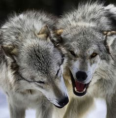 Gorgeous growling wolves. NPS has the history of wolves at Yellowstone. Photo #49 by Jeremy Weber