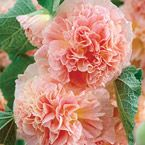 """Peaches 'N' Dreams Hollyhock...Rich, ruffled blooms measure 4-5"""" across. Large peach flowers reveal hints of raspberry pink and soft yellow. Grow next to a sunny wall or create the perfect backdrop for a classic cottage garden."""