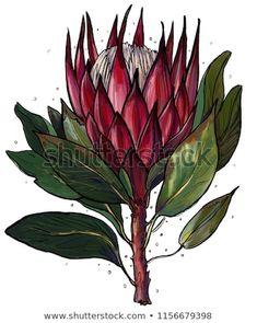 protea, botanical illustration, tropical flower, sketch, line drawing Line Drawing, Drawing Sketches, Drawings, Protea Flower, Flower Sketches, You Draw, Tropical Flowers, Botanical Illustration, Plant Leaves