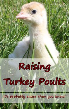 Poults – Raising Turkeys on the Homestead Turkey poults need little in their first few weeks of life. These tips will help you keep them warm, fed and healthy. Turkey Farm, Baby Turkey, Wild Turkey, Pet Turkey, Peru, Hobby Farms, Raising Chickens, Chickens Backyard, Farmhouse