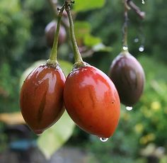 fitoterapia para adelgazar tomate de arbol colombiano