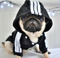 Crush On Pugs (@CrushOnPugs) | توییتر