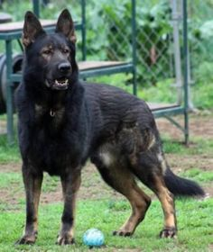 Czech GSD -- I usually like the DDR kind better, but l love this dog