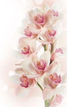 ideas wedding bouquets wild flowers ana rosa for 2019 Exotic Flowers, Amazing Flowers, My Flower, Pink Flowers, Beautiful Flowers, Most Beautiful, Frühling Wallpaper, Orquideas Cymbidium, Orchidaceae