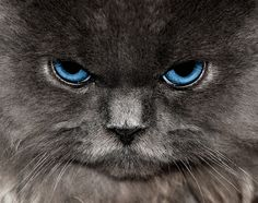 Angry Blue Eyed Grey Cat | Flickr - Photo Sharing!