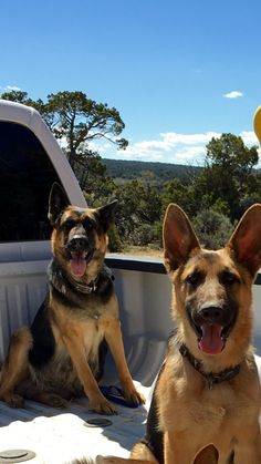 THIS IS GOING TO BE ME WHEN I AM OLDER!!! ME AND MY GERMAN SHEPHERDS RIDING IN MY BLUE FORD TRUCK!!!!!!!!!!!!!!!!!!!!!!!!!!!!!!!!!!!!!!!!!!!!!!!!!!!!!!