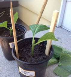 Growing hydrangeas from cuttings. After the soil is moist use two sticks and place them in the pot. They have to be taller than the cutting.