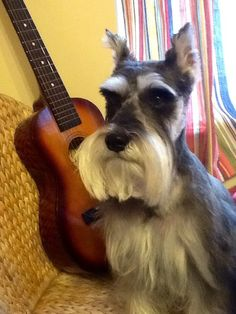 Kiki's exhausted after hours of guitar lessons | A community of Schnauzer lovers!