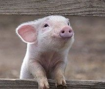 must get a piggie.