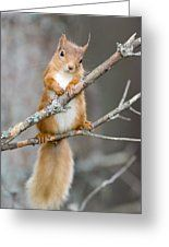 Red Squirrel On A Branch Greeting Card by Duncan Shaw