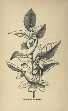 Tea, its history and mystery. - Biodiversity Heritage Library