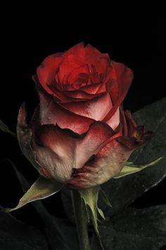 Rose bi-tone by Cristobal Garciaferro Rubio,