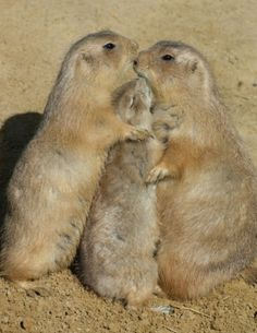 1000+ images about PRAIRIE DOG LOVE on Pinterest | Prairie ...