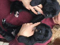 We are pleased to announce the safe arrival our beautiful litter of Labernese puppies. Mum Bonnie is our gorgeous golden labrador, she has an excellent playful nature, Dad is Diesel our stunning Bernese Mountain Dog, he is a gentle giant and loves nothing more than to sit with you and be fussed. They will both be pleased to see you when you visit. Puppies are black with varying white markings on chest, toes and tips of tails. Labernese puppies are bred in Canada and Ireland for guide dogs…