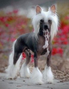 Amazing history of dog breed - Chinese Crested. Diseases of Chinese Crested. Rare Dogs, Rare Dog Breeds, Pets, Pet Dogs, Dogs And Puppies, Doggies, Chihuahua Dogs, Beautiful Dogs, Animals Beautiful