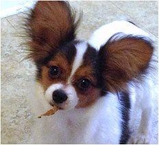 Braylor's Papillons: Testimonials and photos 2013-2014  SO cute. His name is Gideon