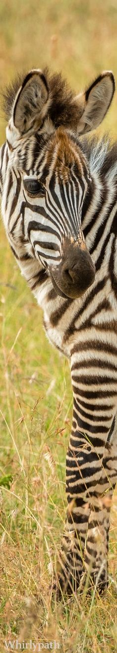Zebras Source:nsplash.com Safari Fashion, Animals Of The World, Zebras, Bokeh, Wildlife Photography, Animal Kingdom, Pet Birds, Habitats, Nature
