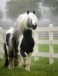 Horses:  #Horse ~ Finnvarra, Gypsy Cob Stallion..
