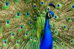 This close up photo of Peacock was taken from Barsana Dham in Austin, TX. There are around 3-4 male peacocks in this temple and the children loved playing with it. No doubt, they are the most prettiest birds on earth